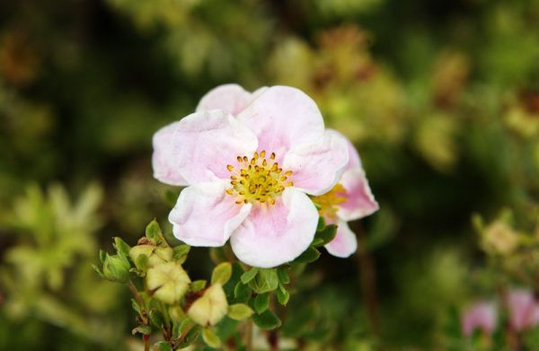Fingerstrauch Princess • Potentilla fruticosa Princess