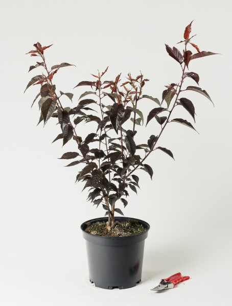 Japanische Nelkenkirsche Royal Burgundy • Prunus serrulata Royal Burgundy