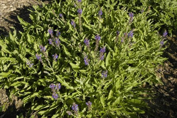 Garten-Blüten-Salbei Rügen • Salvia nemorosa Rügen