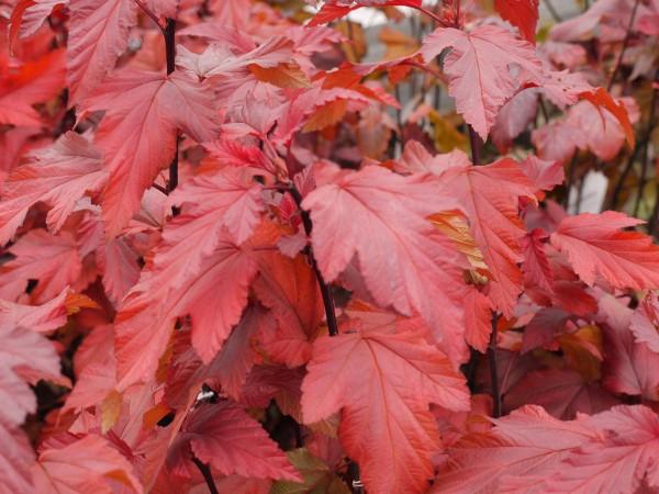 Blasenspiere Lady in Red • Physocarpus opulifolius Lady in Red