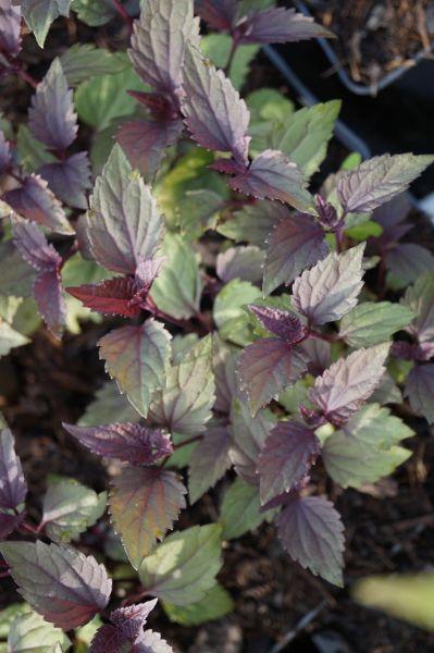Braunblättriger Garten Wasserdost Chocolate • Eupatorium rugosum Chocolate