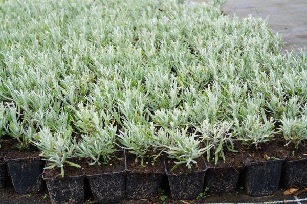 Weißblühender Garten-Lavendel • Lavandula angustifolia Alba