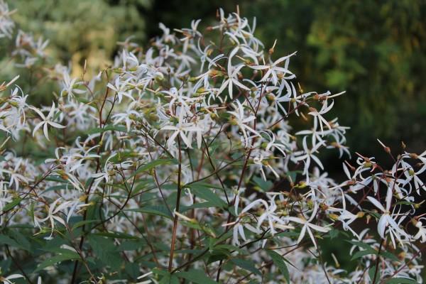Dreiblattspiere Trifoliata Kaufen Garten Von Ehren Qualität Seit