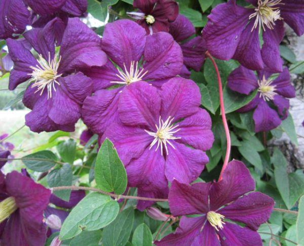 waldrebe etoile violett clematis viticella etoile. Black Bedroom Furniture Sets. Home Design Ideas