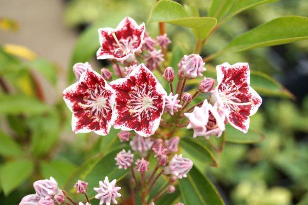 Berglorbeer Carousel • Kalmia latifolia Carousel