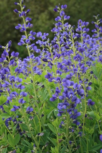Blaue Färberhülse • Baptisia australis